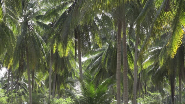 Coconut palm tree plantation