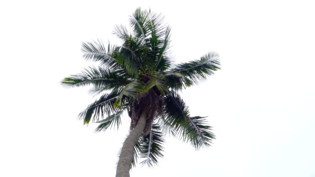 coconut palm tree - swaying stock videos & royalty-free footage