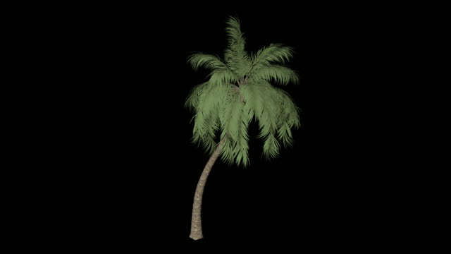 Cocos Palm Tree