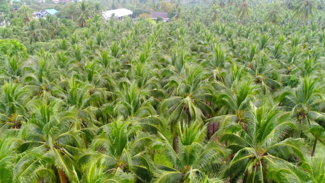 coconut palm tree - coconut palm tree stock videos & royalty-free footage
