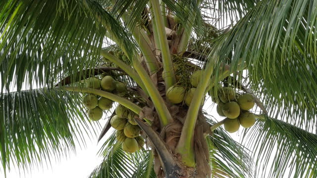 coconut palm tree with green fruit ready to harvest - coconut stock videos & royalty-free footage