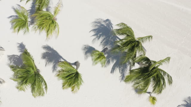 coconut palm trees from top view at miami beach, florida - palmenblätter stock-videos und b-roll-filmmaterial