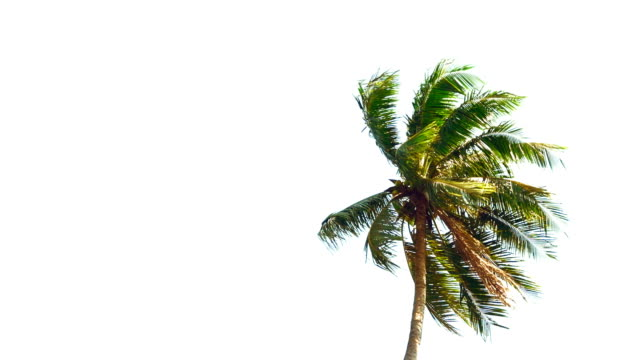 coconut palm trees - swaying stock videos & royalty-free footage
