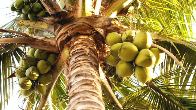 coconut palm trees - coconut palm tree stock videos & royalty-free footage