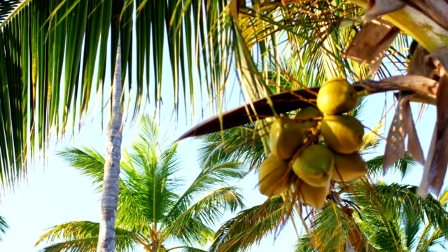 coconut palm trees - palm tree stock videos & royalty-free footage