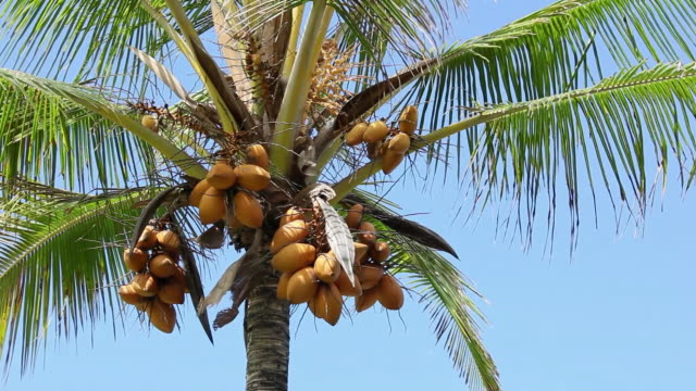 ms coconut palm waving by wind and coconuts fruit at tree / kalapana, big island,hawaii, united states - ココナッツ点の映像素材/bロール