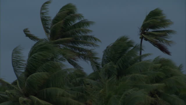 coconut palms (cocos nucifera) in strong wind, french polynesia - wind stock videos & royalty-free footage
