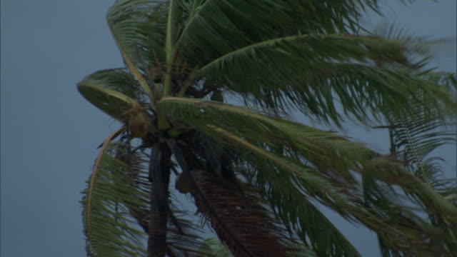 Coconut palms (Cocos nucifera) in strong wind, French Polynesia