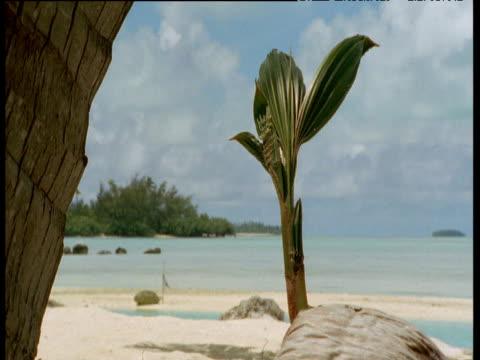 coconut sprouting on beach, aitutaki - aitutaki stock videos & royalty-free footage