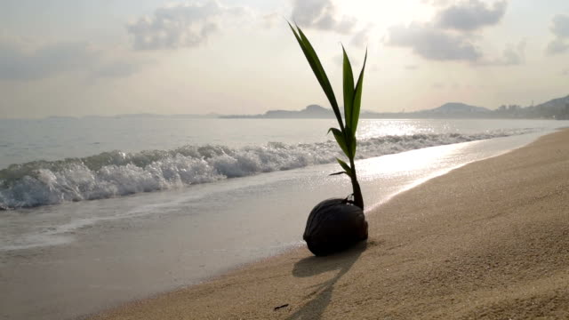 coconut sprouting on sandy beach at sunrise - ko samui stock videos and b-roll footage