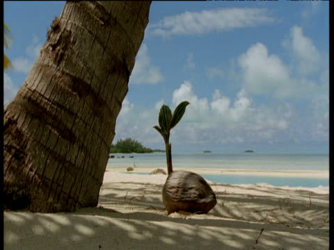coconut sprouts on beach next to palm tree, aitutaki - aitutaki stock videos & royalty-free footage