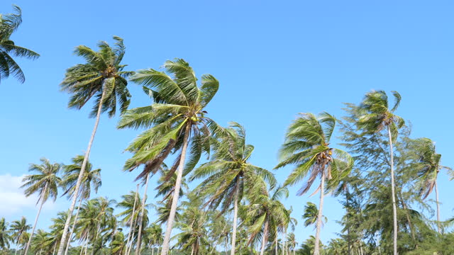 coconut tree against blue sky along the beach - palm leaf stock videos & royalty-free footage