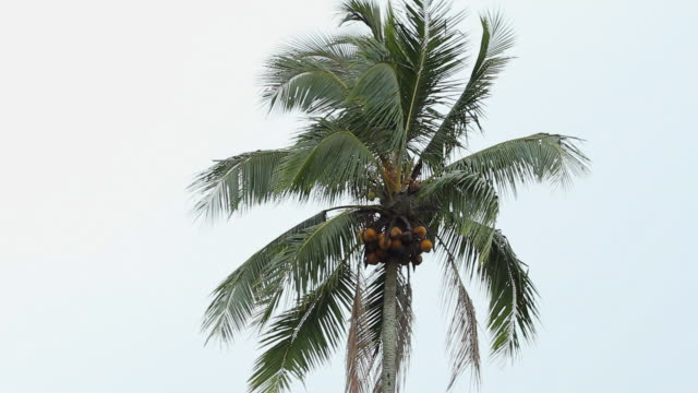 ms coconut tree at ijen village / ijen, java, indonesia - coconut palm tree stock videos & royalty-free footage