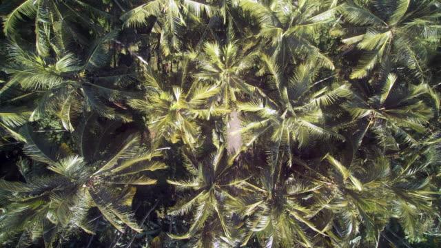 coconut tree nusa penida bali - tropical tree stock videos & royalty-free footage