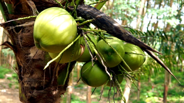 coconut tree plantation harvest, ko lanta, thailand - coconut palm tree stock videos & royalty-free footage