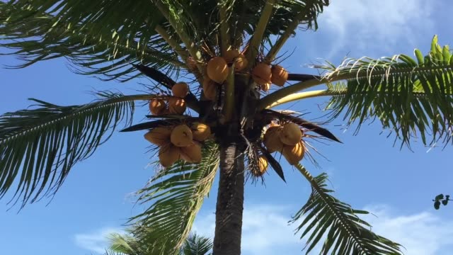 coconut tree - coconut palm tree stock videos & royalty-free footage