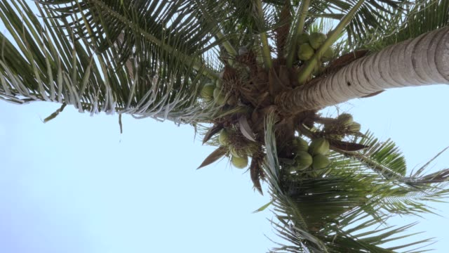 coconut tree with blue sky - coconut palm tree stock videos & royalty-free footage