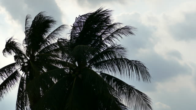 Coconut tree with strong wind.