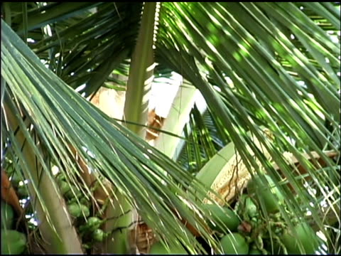 coconuts and palm tree - blattfiedern stock-videos und b-roll-filmmaterial