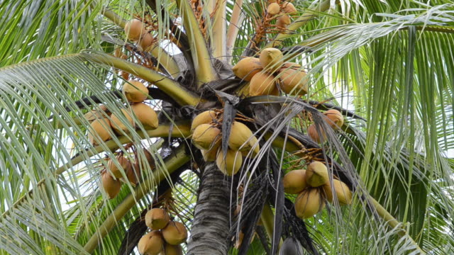 ms coconuts on palmtree / ubud, bali, indonesia - coconut palm tree stock videos & royalty-free footage