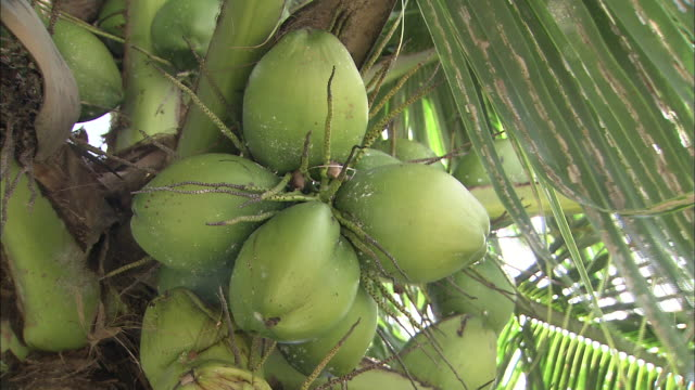 Coconuts ripen on a palm tree.