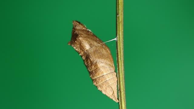 cocoon of old world swallowtail (papilio machaon) in winter - きつい点の映像素材/bロール