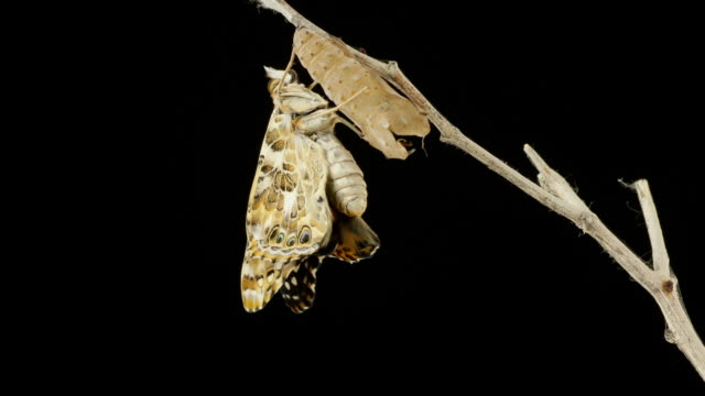 cocoon time lapse - butterfly stock videos & royalty-free footage