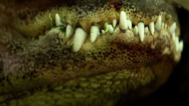 cocrodile mouth - animal teeth stock videos & royalty-free footage