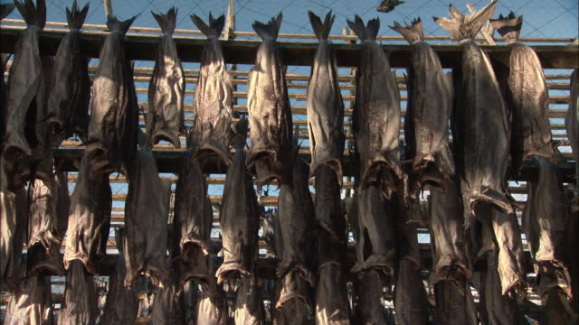 cods being dried at a drying rack in lofoten, norway - drying rack stock videos and b-roll footage