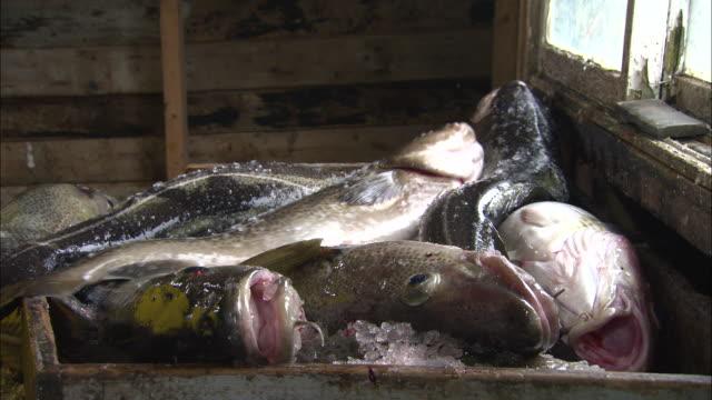 cods thrown into a box in newfoundland, canada - タラ点の映像素材/bロール