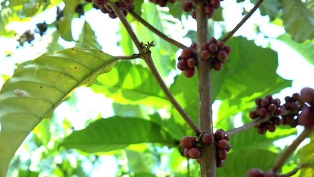 coffee bean in the plant - picking stock videos & royalty-free footage