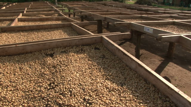 Coffee beans drying in the sun at Fairtrade plantation