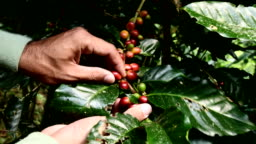 Coffee beans on tree, Hand picking coffee beans from branch of coffee plant.