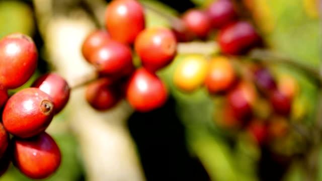 reife kaffeekirschen (bohnen) - kolumbien stock-videos und b-roll-filmmaterial