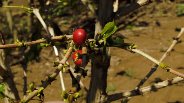 Coffee cherries which are the source of coffee beans are seen on the plants at the Doka Estate coffee farm on March 25 2015 in Alajuela Costa Rica...