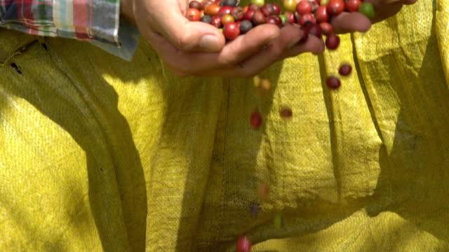Fazendeiro de café atormentando as cerejas maduras café robusta árvore de café.