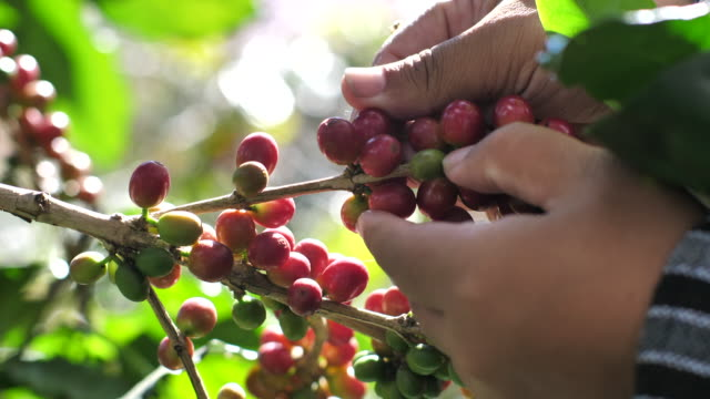 coffee farmer softly picks the ripe coffee cherries from a coffee tree on his farm - bean stock videos & royalty-free footage