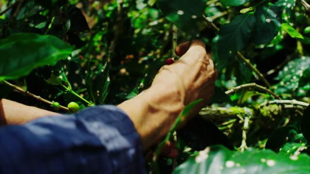 una selezione di caffè agricoltore delicatamente il maturi caffè ciliegie da un caffè albero sulla sua azienda. questo è il luogo in cui la tazza di caffè a partire da! un albero, di solito in un remoto profonda foresta, che crescono ciliegie rosse con due chicchi di caffè in ogni cherry. - south america video stock e b–roll