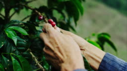 A coffee farmer softly picks the ripe coffee cherries from a coffee tree on his farm. This is where your cup of coffee starts from! A tree, usually deep in a remote forest, that grow red cherries, with two coffee beans in each cherry.