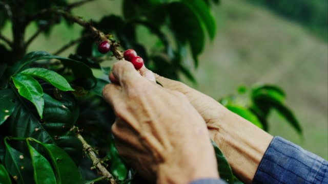 a coffee farmer softly picks the ripe coffee cherries from a coffee tree on his farm. this is where your cup of coffee starts from! a tree, usually deep in a remote forest, that grow red cherries, with two coffee beans in each cherry. - farm stock videos & royalty-free footage