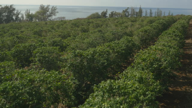 Coffee field plantations in Hawaii