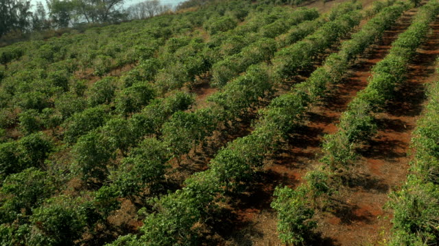 coffee fields filmed from a drone uav - pacific islands stock videos & royalty-free footage