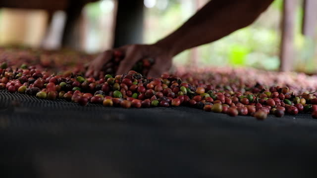 coffee harvesting at finca del carmen farm in lipa, batangas city, philippines on friday, december 4, 2020. - 麻袋点の映像素材/bロール
