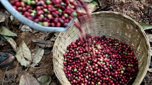 coffee harvesting - コーヒー豆点の映像素材/bロール