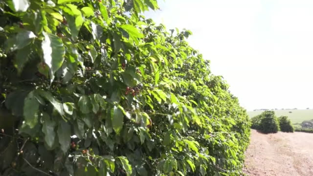 coffee plantation, brazil - plantation stock videos & royalty-free footage