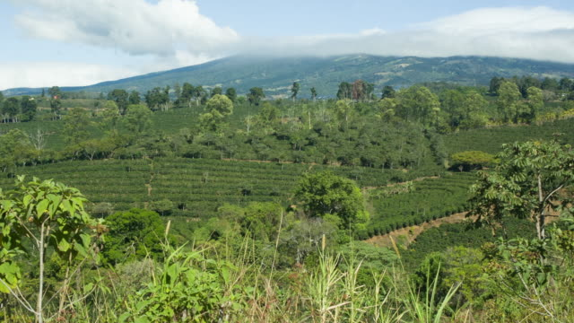 coffee plantation in costa rica - gedeihend stock-videos und b-roll-filmmaterial
