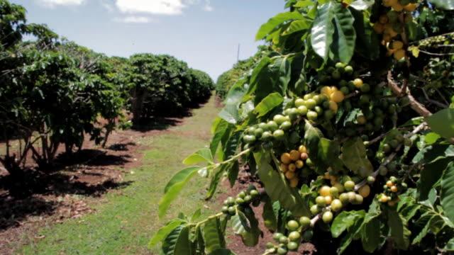 Coffee Plantation - Peaberries