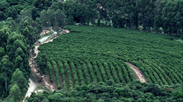 coffee plantation south of belo horizonte  - aerial view - minas gerais, ritápolis, brazil - plantation stock videos & royalty-free footage