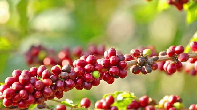 coffee tree. - biodiversity stock videos & royalty-free footage