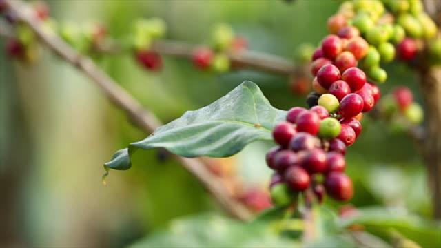 コーヒーの木。 - コーヒー豆点の映像素材/bロール